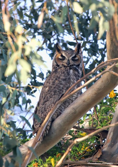 Great Horned Owl in the cottonwood