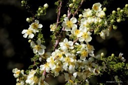 The air was permeated with the smell of honey around these blooming bushes