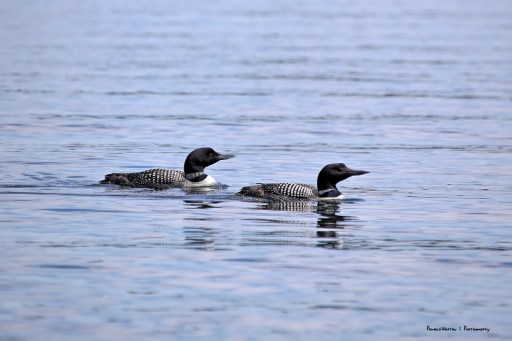 Loon parent and child