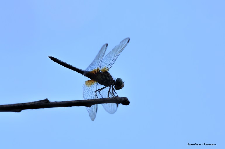 Dragonfly at rest