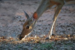 Young doe came to clean up my birdseed