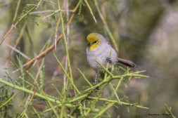 I usually have a hard time capturing these quick little Verdin's but warming up in the morning sun he stood for a moment