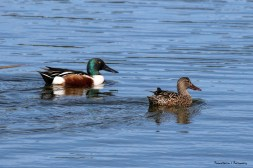 A pair of Northern Shovelers