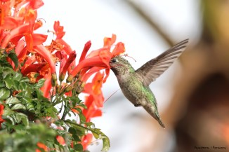 From the smallest-Anna's hummingbird