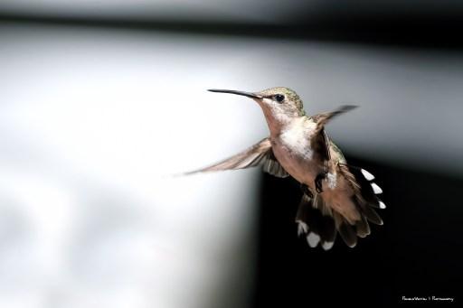 Mrs. Ruby Throated Hummingbird