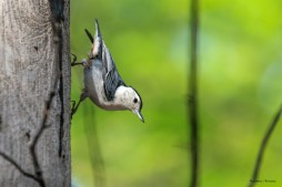 Defier of gravity-White Breated Nuthatch