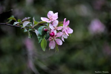 The glorious apple blossoms