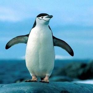 К чему снится пингвин: к весёлому путешествию или крушению надежд? Приснились пингвины: толкование по разным сонникам