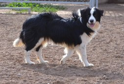 border collie mbti