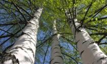 არყის ხე