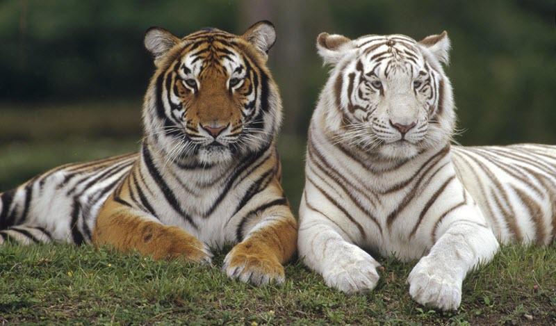 brzina upoznavanje tigar tigar