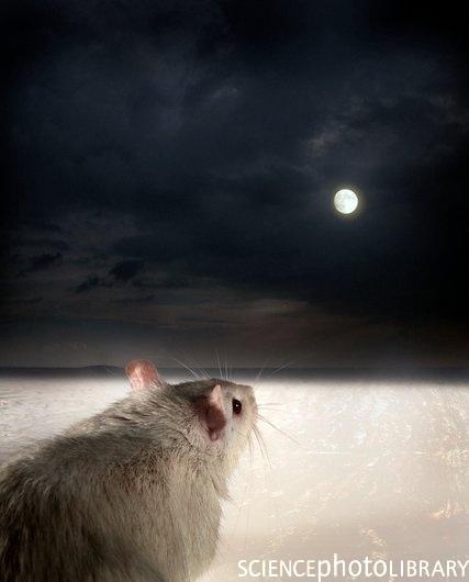 Um rato marrom/castanho comum observa a noite.