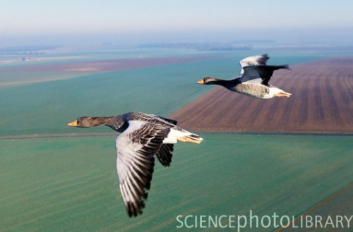 O ganso cinza (fonte: Science Photo Library).