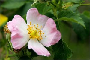 Wild Rose apathie levensmoe verslaving