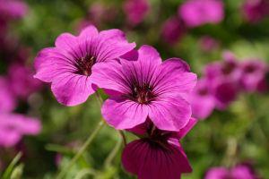 Geranium etherische olie: een weldaad voor de huid