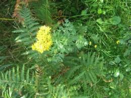 Common Ragwort - Senecio jacobaea