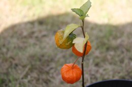 Chinese Lanterns (Physalis alkekengi)