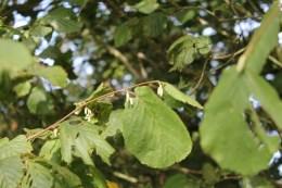 Hazel new catkins (Corylus avellana)