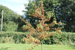 Crabapple 'Evereste'