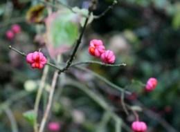 Spindle berries