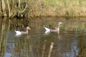 Greylags on the pond