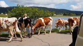 the-cow-thing_std.original