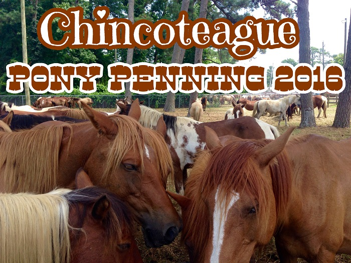 pony penning title