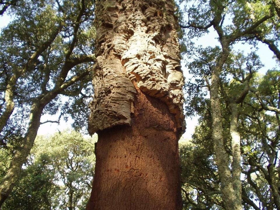 Cork tree and bark
