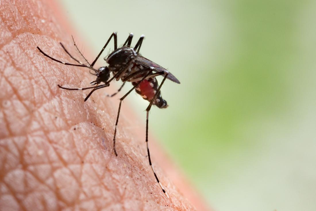 mosquito-preparing-to-bite