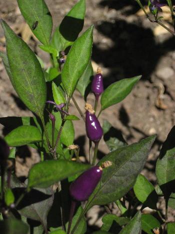 Petite Purple Peppers Asymptotia