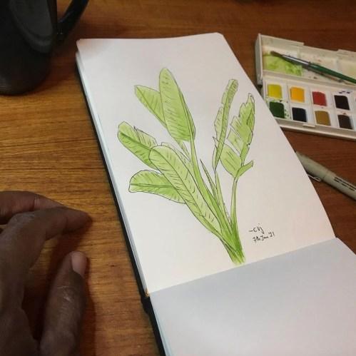 Sketch of strelitzia plant, colour all green.