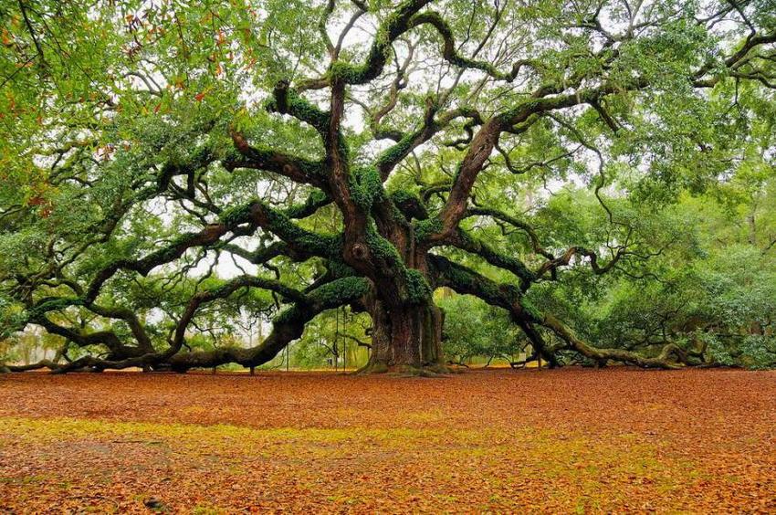 http://4.bp.blogspot.com/-Icshl2U3p0I/VL4Xcn-XJYI/AAAAAAAAAFs/Tgqnu109i_U/s1600/pohon%2Boak.jpg