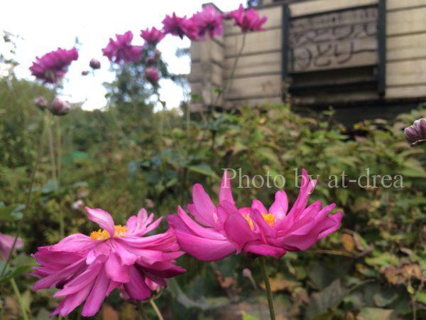 ログハウスのお庭に咲く秋明菊