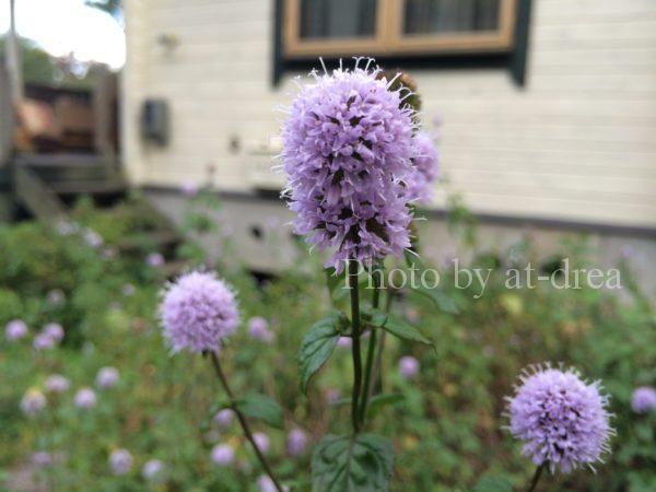 ログハウスのお庭に咲くミントの花