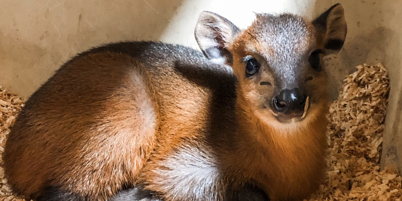 Red Flanked Duiker Born at Local Zoo