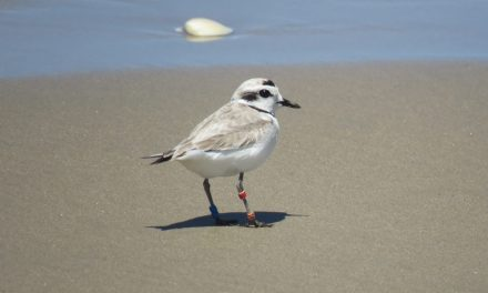 California Coastal Commission Orders Oceano Dunes to Remain Closed to Vehicles to Protect Nesting Shorebirds