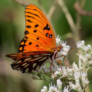Butterflies of the Rio Grande Valley Gulf Fritillary Butterfly.