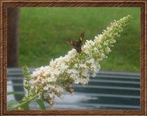 bc9d8-butterflyonflower2