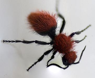 http://en.wikipedia.org/wiki/File:Velvet_Ant.jpg