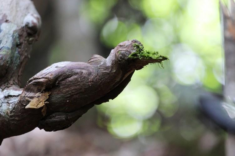 Rất nhiều cây đã được lãnh đạo huyện Tây Giang đặt tên theo hình thù kỳ lạ như cây ngũ hổ, cây voi, cây rồng, cây ếch, cây chim…(Ảnh: Hùng Võ/Vietnam+)