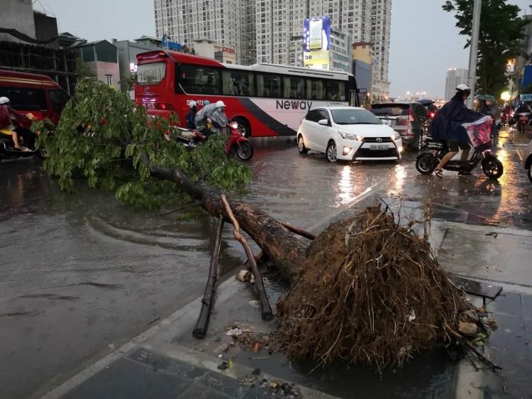 Tình trạng cây xanh bật gốc, đổ, gãydiễn ra thường xuyênsau mỗi trận mưa tại nhiều tuyến đường ở Hà Nội. Theo nhận định của giới chuyên gia, một trong những nguyên nhân chính dẫn tới hiện tượng này là do lỗi quy hoạch, bê tông hóavỉa hè đường. (Nguồn ảnh: TTXVN)