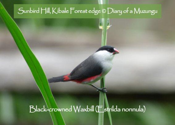 Black-crowned Waxbill, Uganda. Charlotte Beauvoisin