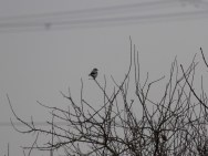 gg-shrike-at-eagland-hill-7