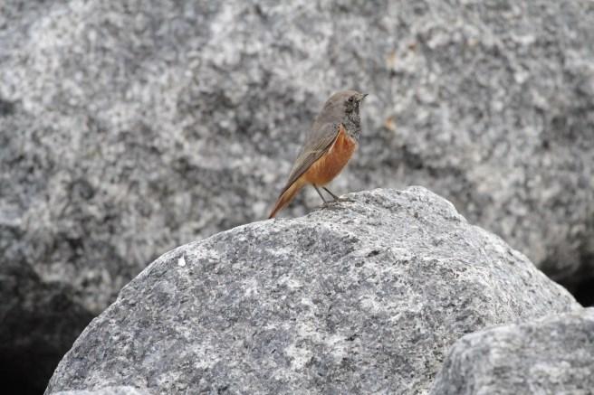 Eastern Black Redstart