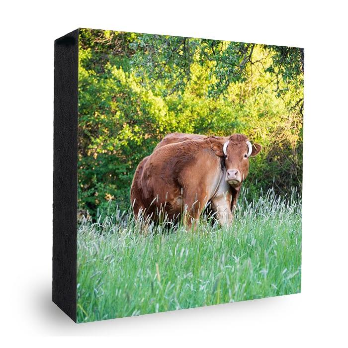 Kühe in Bad Soden