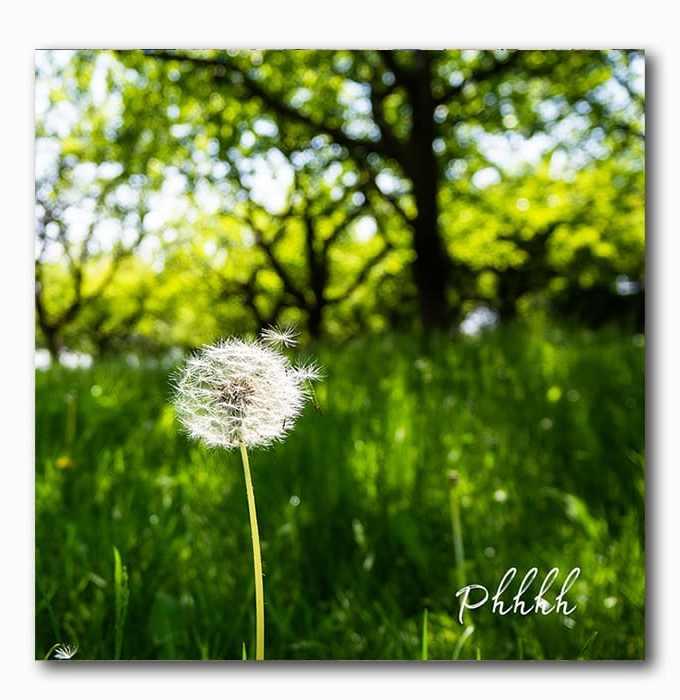 Pusteblume- Wunsch frei