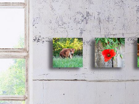 Serie Kuhdreh-Blume-Kiss