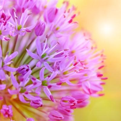 癒し 玉ねぎの花