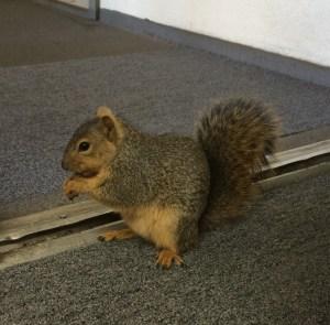 Bernie Sanders, the resident squirrel at work.
