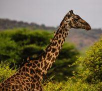 Safari Day 2-93